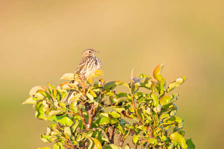 Meadow Pipit (Anthus pratensis) perched on a bush in the late evening in Denmark.