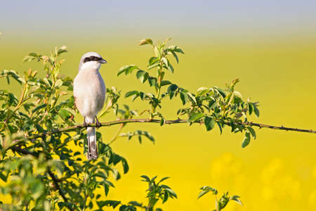 A male Red-backed shrike (Lanius collurio) perched on a branch