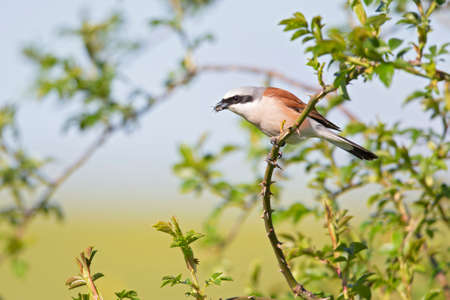 A male Red-backed shrike (Lanius collurio) perched with an insect in its beak on a branch in Germany