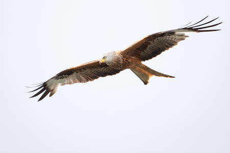 A red kite flying in the early morning light at a lake in Germany.