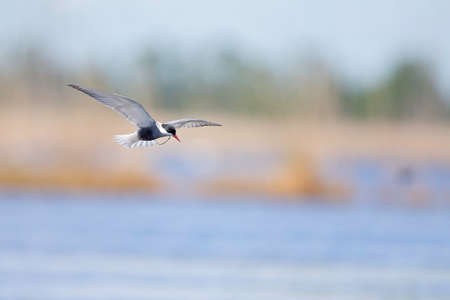 Whiskered tern (Chlidonias hybrida) in flight full speed hunting for small insects above a lake in Germany Stock fotó