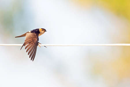 A red-rumped swallow (Cecropis daurica) perched and preening on a electric cable in the morning sun of Greece. Banco de Imagens