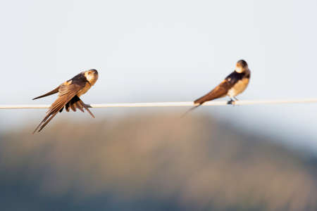 Two red-rumped swallows (Cecropis daurica) perched and preening on a electric cable in the morning sun of Greece.