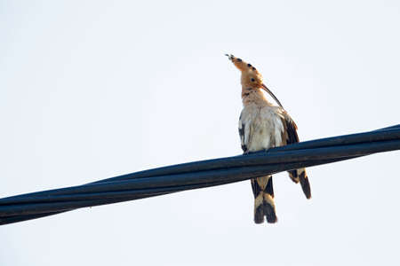 Eurasian hoopoe (Upupa epops) perched, resting and preening on a powerline in Greece. Stock Photo