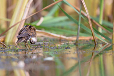 Close up of a juvenile little crake (Zapornia parva) foraging at a swamp in the Netherlands.