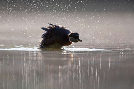 A adult red-necked grebe (Podiceps grisegena) swimming with backlighting