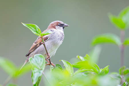 A male House sparrow (Passer domesticus) perched on a branch between leaves.