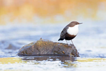 White-throated Dipper perched on a rock in a streaming creek. Banque d'images