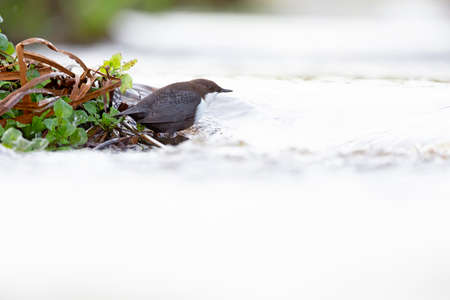 A white-throated dipper Cinclus cinclus perched in streaming water in search for food.