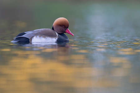 A male red-crested pochard (Netta rufina) swimming and foraging in a colorful pond in the city.
