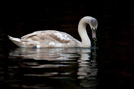 A juvenile mute swan (Cygnus olor) swimming and foraging in the dark.