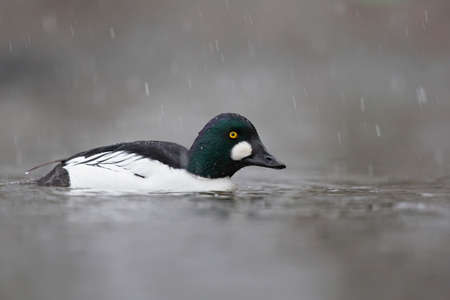 A male adult goldeneye (Bucephala clangula) swimming in a lake photographed high key while it is snowing.