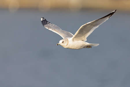 A common gull (Larus canus) in flight at a lake in the city of Berlin
