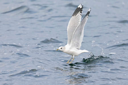 A mew gull (Larus canus) taking off from a lake in the city of Berlin Reklamní fotografie