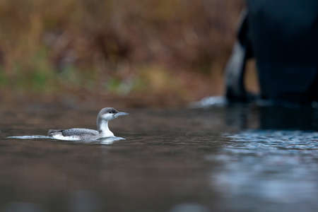 A black-throated loon (Gavia arctica) injured caught with a fishing line around its beak.
