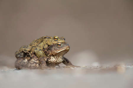 A male and female common toad (Bufo bufo) during migration crossing the street