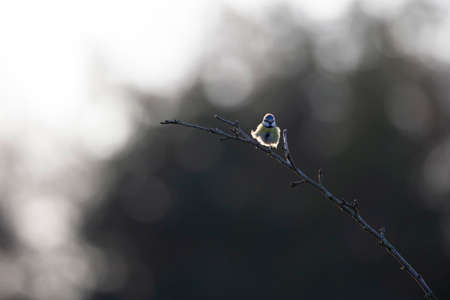 An adult blue tit (Cyanistes caeruleus) singing loud and proud on a branch.