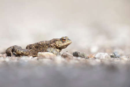A common toad (Bufo bufo) during migration crossing the street