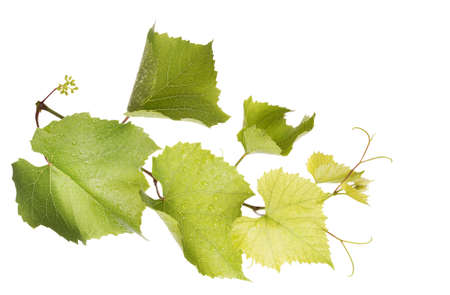 Fresh grape Leaves isolated on a white background photo