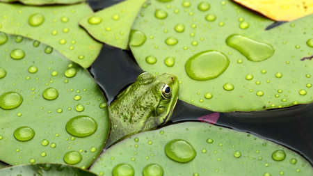lilypad: Frog on lily pad a macro background Stock Photo