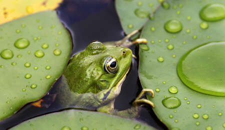 lily pad: Frog on lily pad a macro background Stock Photo