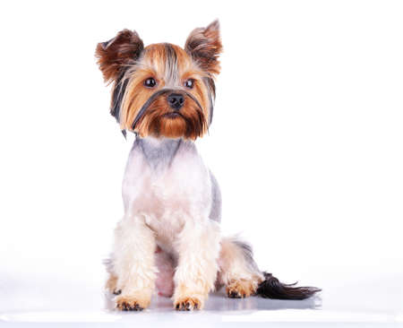 yorky: Puppy of the Yorkshire Terrier isolated on the white background Stock Photo