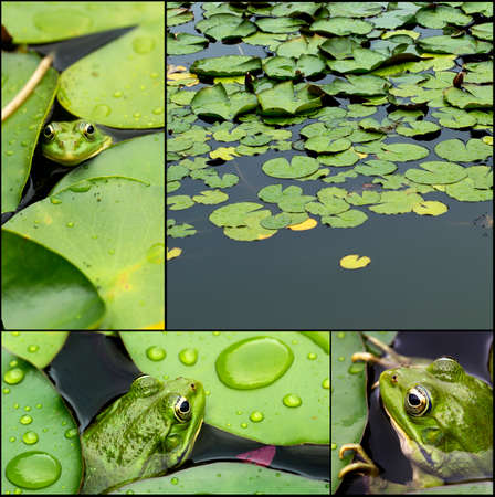Frog on lily pad collage a macro background photo