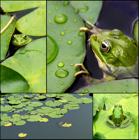 frog on lily pad: Frog on lily pad collage a macro background