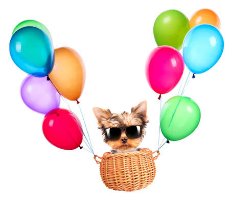 happy yorkie toy flying in a basket with air balloons photo