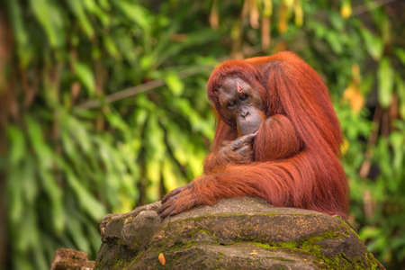 utang: Orangutan in the Singapore Zoo Stock Photo
