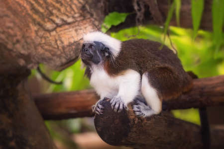 zoo: Mono del Tamarin superior del algodón sentado en un árbol.