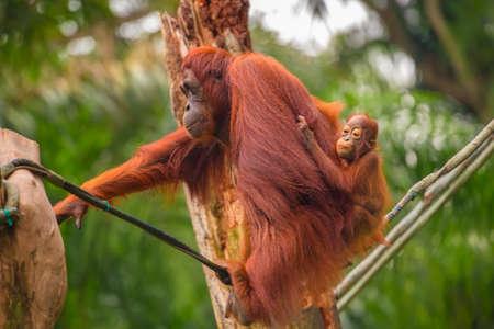 zoo: Orangután en el parque zoológico de Singapur