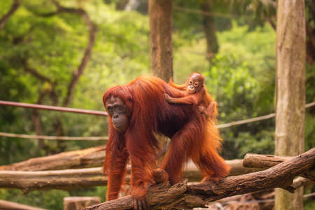 Orang-Utan im Zoo von Singapur Standard-Bild - 41666684