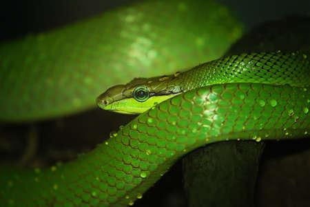 zoo: Serpiente látigo Oriental, víbora verde Foto de archivo
