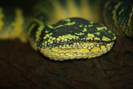 Oriental whip snake, green viper