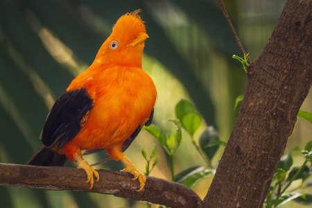 the rock: Orange colorful bird, Cotinga, Cock on the rock