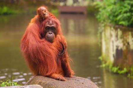 zoologico: Orangután en el parque zoológico de Singapur
