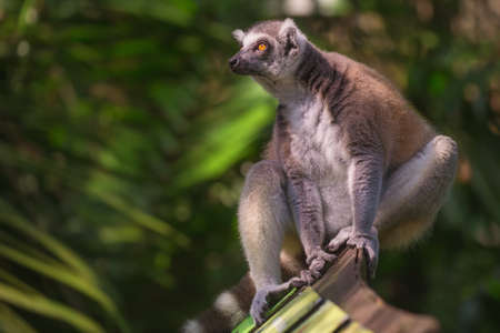zoo: Ring-tailed lemur from Madagascar in Singapore Zoo Stock Photo