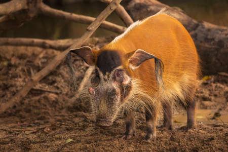 bush hog: Cerdo del r�o Rojo, cerdos salvajes, parque zool�gico de Singapur