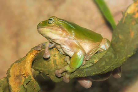 lilypad: Green tropical frog on a branch close-up Stock Photo