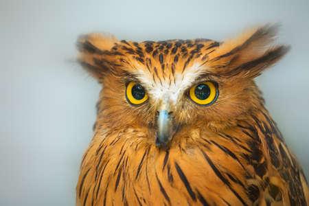 oddball: Buffy Fish Owl portrait, close up serious look of yellow eyes Stock Photo