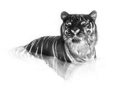 black and white frame: Black and white portrait of White tiger. Invert image on white background