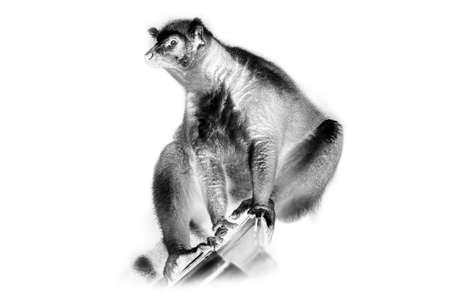 primate: Black and white portrait of Ring-tailed lemur sun-loving primate. Invert image on white background
