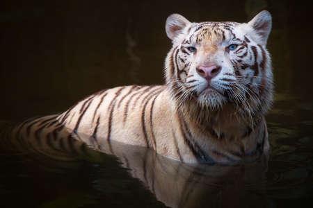 Blanc symbole de tigre de succès et de puissance Banque d'images - 44448708