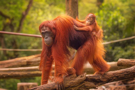 Jonge orang-oetan is slapen op zijn moeder. Stockfoto
