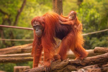 orang: Young orangutan is sleeping on its mother.