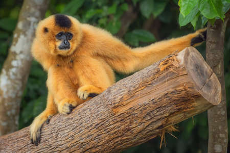 zoo: Yellow-cheeked gibbon female Nomascus gabriellae, Singapore zoo Stock Photo