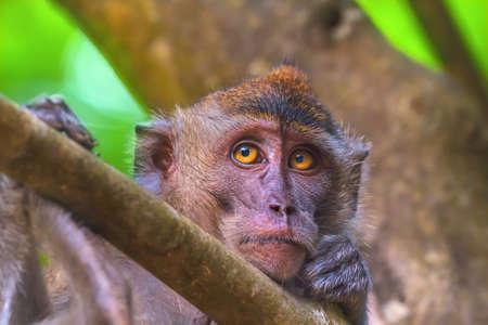animales del zoologico: Retrato del mono triste con ojos amarillos brillantes mirando a puerta cerrada. Macaco cangrejero o el macaco de cola larga, Macaca fascicularis
