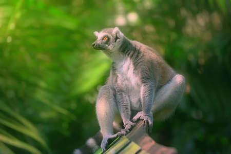 tailed: Ring-tailed lemur sun-loving primates sitting among trees.