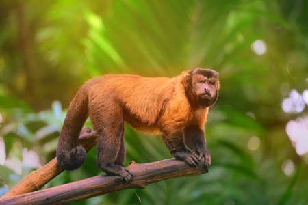 central park: Brown capuchin monkey sitting among the trees. Stock Photo